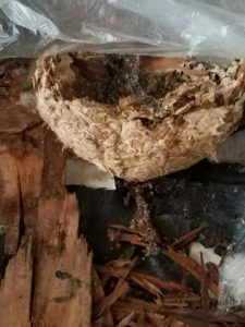 Bee nest in a house