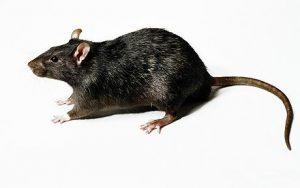 Rrodent control, rat exterminator suffolk county, mice control suffolk county, Suffolk County Pest Control, exterminator suffolk, pest control suffolk