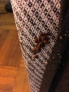 bed bugs infestation on curtain