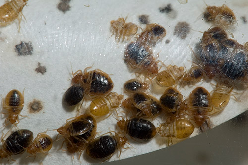 bed bug nest
