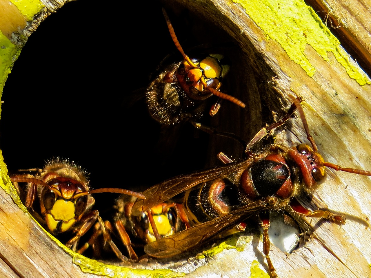 hornets in a block of wood