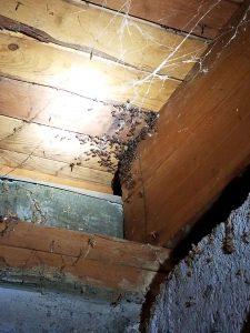 Carpenter Ants Infestation